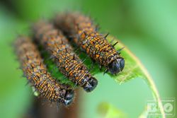 Caterpillar cod6570