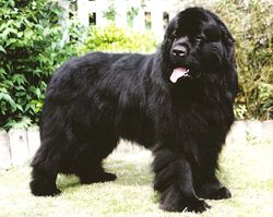 Int/CH/DNK/L/VDH Ch Incredible Hulk vom Trieberg (George at 2.5 yrs old)