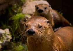 Otters on Dartmoor 1