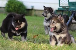 Onyx,maple and Vada