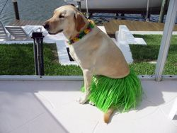 Chipper loves to dress up for his kids, Shiloh x Camper pup
