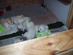 What a beautiful litter from Rosie and Stoney!