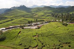Tea Plantations outside Jakarta