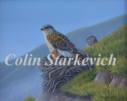 "Cliff Nesters - Ferruginous Hawks (16 by 20"" acrylic on masonite) In Private Collection"