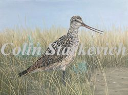 """Marbled Godwit (12 by 16"""" oil on panel)"""