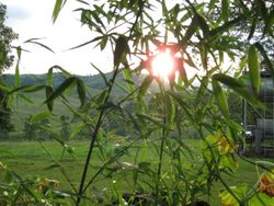Dusk through the bamboo