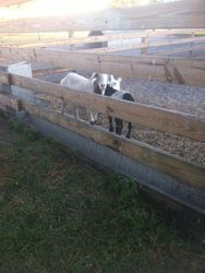 2 Wethered Goats $100obo Each