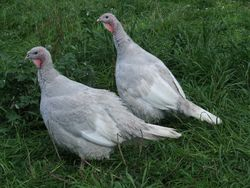 Lilac Hens