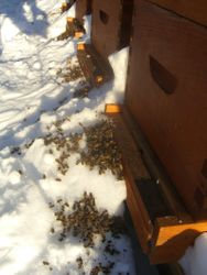 Hives with dead bees cleaned out