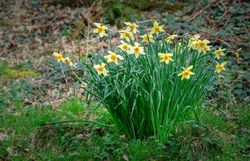daffodils in The Dell
