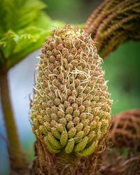 gunnera manicata flower