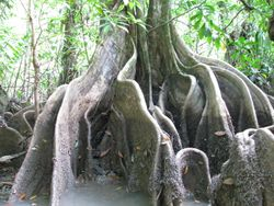 Buttress roots in the mangrove estuary