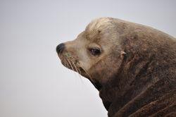 Sea Lions on Coronado Island