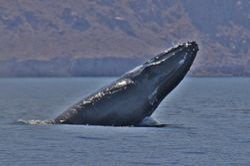 Whales in Loreto
