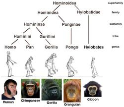 Hominidae Family Tree