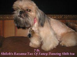 Shiloh's Razama Taz Of Fancy Dancing