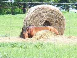 Sophie laying in the hay