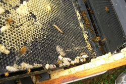 Hive Problem - Wax Moths 3