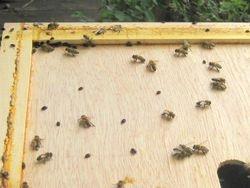 Hive Problem - Small Hive Beetel 2
