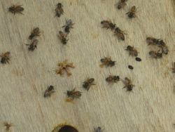 Hive Problem - Small Hive Beetel 1