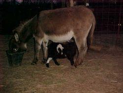 Like mama, like baby??!! it's a goat!