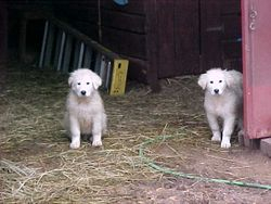 Roy and Cotton as pups