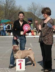"Shar-Pei specialty - ""Regional Specialty Dog Show Shar-Pei"" - 24.04.2010, Volgograd, Russia"