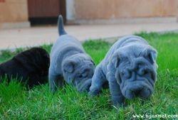 Black & Blue males, Blue female