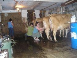 Linda milking one of her cows