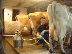 Andrew D milking our cow Jill