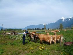 curious cows investigating cameraman