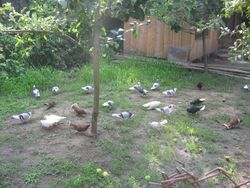 Porumbeii prin ograda