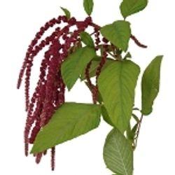 Amaranthus_Hanging_Red_Greens_