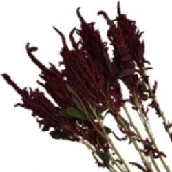Amaranthus_Upright_Red_Greens_