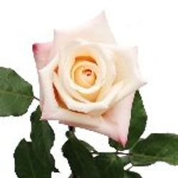 Rose_Anna_Light_Pink_