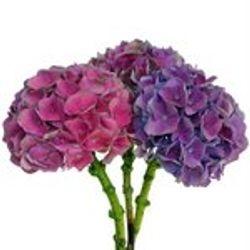 Hydrangea_Antique_Dutch_Purple_Pink_Flower_