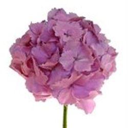 Hydrangea_Antique_Dutch_Pink_Lavender_