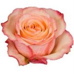 ROSE, Aquarell_Novelty_Pink_