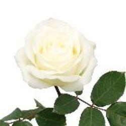 ROSE Avalanche_White