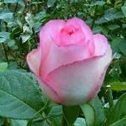 ROSE, Bella_Vita_Bicolor_White_with_Pink