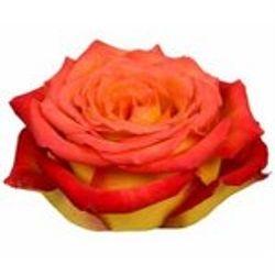 Rose_Bibi_Bicolor_Yellow_and_Orange_