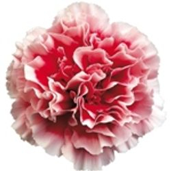 Carnation_Flower_Bicolor_Red_and_White_
