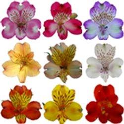 ALSTROMERIA_Peruvian_Lily_Flower_
