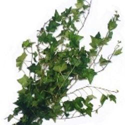 Ivy_Green_Greenery_