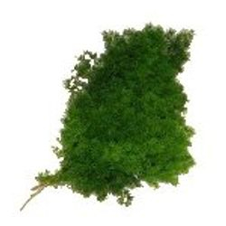 Mingsheet_Moss_dried Greenery