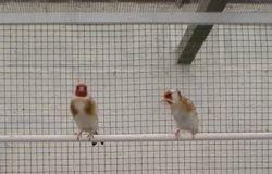 Bruine split witkop pop bezig met nestbouw