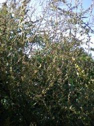 Artemisia vulgaris (Bijvoet)
