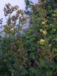Filipendula Ulmaria (Moerasspirea)