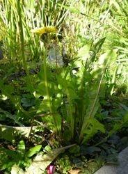 Taraxacum officinale (Paardenbloem)