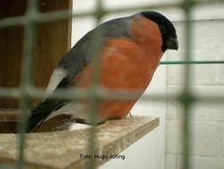Northern Bullfinch male
